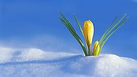 Первый весенний желтый цветочек