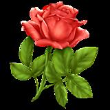 Красная роза на стебле